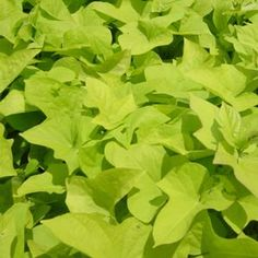 'Marguerite' sweet potato vine - fast growing, full sun, great in containers or as a ground cover.