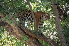 Tiger in tree!!by Mayank Mishra Photography