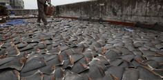 "In Hong-Kong, thousands of ailerons of sharks aired on a roof!  The ""fining"", a barbaric peach(fishing) consisting in cutting the fin of the still living shark before releasing(relaxing) him(it) being dying in the water. 73 million sharks would be killed there every year - http://www.facebook.com/pages/Protégeons-les-requins/175814582526962"