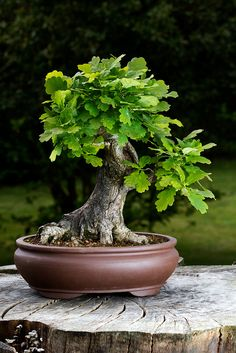 Bonsai by Michael Keen, via Flickr