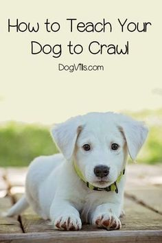 Dog Behavior How to Teach Your Dog to Crawl in 5 Easy Steps - If your dog has mastered basic dog training commands like sit, stay, and lie down, you're ready to take it to the next level! Read on for a complete guide to how to teach your dog to crawl! Basic Dog Training, Puppy Training Tips, Crate Training, Training Dogs, Potty Training, Kennel Training A Puppy, Training Quotes, Training Videos, Training Courses