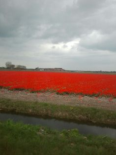 Holland Tulpenveld