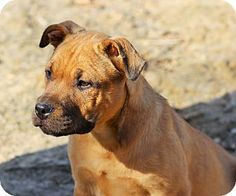 Huntingtown, MD - Labrador Retriever/Pit Bull Terrier Mix. Meet Ajax a Puppy for Adoption.