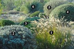 1. Stipa calamagrostis  (70 cm - 60/80 cm) 2. Santolina neapolitana 'Edward Bowles'  (60 cm - 80 cm) 3. Lomelosia cretica  (60 cm / 60-80 cm) 4. Cistus x skanbergii  (60-80 cm /  1 m) 5. Phlomis fruticosa  (1-1,5 m /  1,5-2 m) 6. Dasylirion sp.  (+1,5 m /  1,5 m)