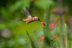 https://flic.kr/p/HTcj1K | Juvenile Rufous and Salvia exserta