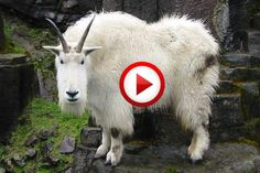 Goat Beatboxer Video #animals, #funny, #music, #videos, https://facebook.com/apps/application.php?id=106186096099420