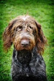 Gantry a GWP in Montrose Pa. needs adopting. He is simply beautiful god bless him and watch over him please give him a loving home real soon