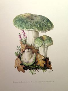 Edible MUSHROOM lithograph, 1963 antique Russula virescens engraving, vintage fungus fungi color lithograph, mushrooms mycology science.  This fine and original 1963 print shows differents types of Mushrooms.  SUBJECT: MUSHROOMS - RUSSULA VIRESCENS. PAPER SIZE: Approx Inches 10.6 x 7.5 -- 27 x 19 cm AGE: 52 years. CONDITION: Excellent condition.  Plate printed on good heavy paper. Scientific description printed on the reverse.Text in GERMAN.   Some imperfections are habitual in antique…
