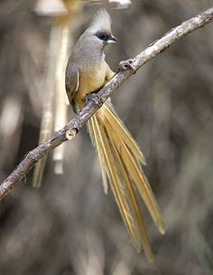 Speckled Mousebird is restricted to Sub-Saharan Africa... LOTS OF THESE IN MY GARDEN.