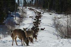 Подкормка оленей в зимнем лесу.