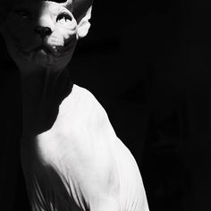 If animals could speak, the dog would be a blundering outspoken fellow; but the cat would have the rare grace of never saying a word too much. #blackandwhite #photoblackandwhite #photocat #catphotography #cats_of_instworld