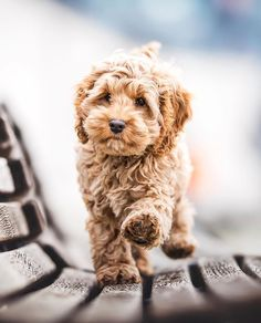 Labradoodle Temperament - How to Choose The Right Temperament - Labradoodles & D. - Labradoodle Temperament – How to Choose The Right Temperament – Labradoodles & Dogs - Super Cute Puppies, Cute Baby Dogs, Cute Dogs And Puppies, Cute Baby Animals, I Love Dogs, Pet Dogs, Dog Cat, Doggies, Animals Dog