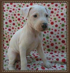 Adopt Walter White On Baby Animals American Bulldog Mix