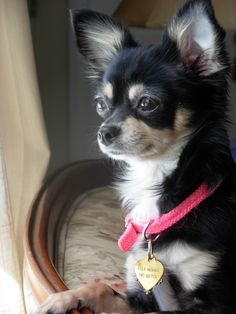 pensive Lola...chihuahuas rock-cute dog, yes.