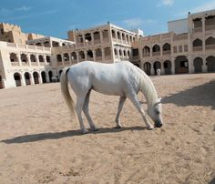 Jenna deCastro Arabian Horses, Doha, Qatar by APIstudyabroad, via Flickr