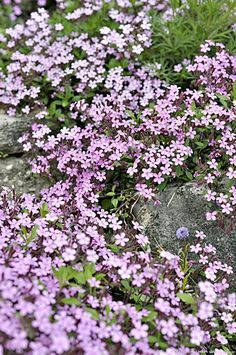 Saponaire de Montpellier (Saponaria ocymoides)  Un bon couvre-sol semi-persistant qui fleurit en avril et mai. Originaire des régions montagneuses du sud de l'Europe, il ne craint pas le froid (-15 °C et plus). Pas d'engrais ! La plante, par sa frugalité, convient bien aux rocailles.