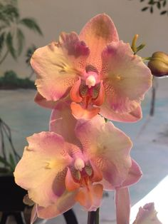 - My new favorite.Love the texture on the petals. Rare Flowers, Leaf Flowers, Exotic Flowers, Amazing Flowers, Beautiful Flowers, Orquideas Cymbidium, All About Plants, Orchidaceae, Plantar