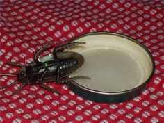 Home Remedies for Roaches