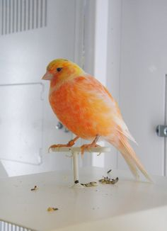 Orange Colored Canary