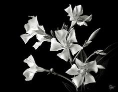Oleander in Black and White Greeting Card by Endre Balogh.
