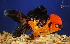 "6"" RED & BLACK ORANDA live goldfish for koi fish pond nextdaykoi NDK"