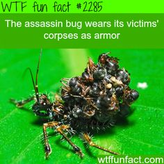 The assassin bug wears its victims' corpses as armor - WTF FUN FACT Wtf Fun Facts, True Facts, Funny Facts, Random Facts, Crazy Facts, The More You Know, Good To Know, Badass, Haha