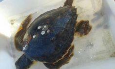 Molise: #Guardia #Costiera #salva una tartaruga caretta caretta in difficolta' (link: http://ift.tt/2cINgLQ )