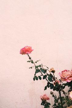 spring | pink roses