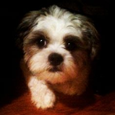 My dog, Theodore, is a precious maltese-shih tzu mix!