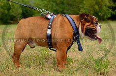 American Flag Adjustable #Leather #Bulldog #Harness $159.90   www.all-about-english-bulldog-dog-breed.com