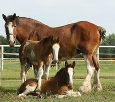 Willow Way Clydesdales__she didn't have twins, the filly was an orphan who needed a mama. Big Horses, Work Horses, Cute Horses, Pretty Horses, Horse Love, Show Horses, Beautiful Horses, Funny Horses, Farm Animals