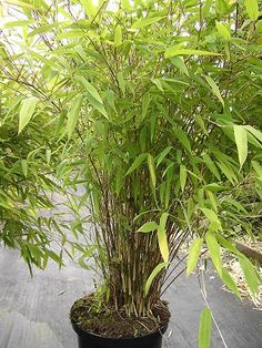 Fargesia nitida 'Great Wall' - Family Poaceae Garden origin This upright, graceful bamboo has extremely attractive, white, powdery canes and small, dark green leaves. Fountain-like in habit as it matures.