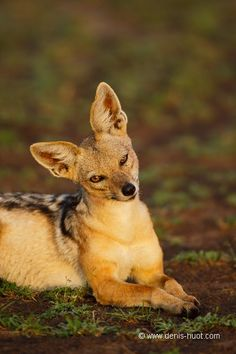 black-backed jackal in Masai Mara National Park, Africa have never seen such a sweet looking jackal Primates, Mammals, Reptiles, Baby Animals, Funny Animals, Cute Animals, Coyotes, Beautiful Creatures, Animals Beautiful