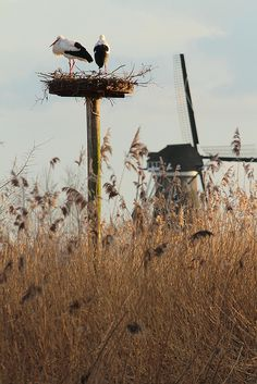 Storks in the countryside. #Netherlands #ooievaars #nature