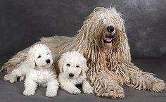 Hungarian Komondor / Hungarian Sheepdog / Mop Dog / Komondorok