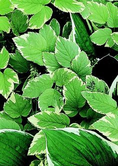 Bishops Weed - groundcover plant with a fast, AGGRESSIVE spread. Use it on shaded or partially shaded slopes or in large woodland areas where it can take over and have the run of the space. Choose the variegated variety, considered slightly slower-growing, to add brightness to the shade. Bishop's weed reaches about a foot tall and drops its leaves in winter. Zones 4-9