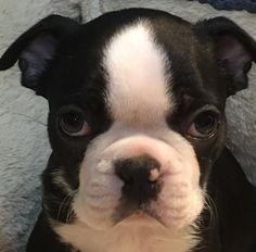 """See our web site for even more details on """"boston terrier"""". It is actually an excellent place to find out more. Boston Terrier Temperament, Brindle Boston Terrier, Red Boston Terriers, Boston Terrier Love, Terrier Breeds, Terrier Puppies, Dog Breeds, Wrinkle Dogs, English Terrier"""