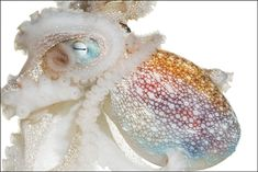 New book featuring amazing ocean creatures: Spineless: Portraits of Marine Invertebrates, the Backbone of Life! By San Francisco-based photographer Susan Middleton. Octopus Art, Natural Curiosities, Saltwater Tank, Life Aquatic, Underwater Life, Ocean Creatures, Some Image, Tentacle, Nature Animals