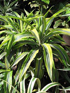 Dracaena fragrans - Dracena, Dragoeiro, Pau-d'água - planta arbustiva, de folhagem decorativa. Se cultivado no solo, ele pode crescer até 15 metros de altura e atingir 30 cm de diâmetro. Suas inflorescências são do tipo panícula, globosas, e de cor branca a rosada, com intenso perfume adocicado. As flores são bastante atrativas para abelhas e beija-flores. Deve ser cultivada sob sol pleno, meia sombra ou luz difusa.