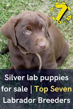 A search of Silver lab puppies for sale is not a tough job. Here are few tips to buy silver lab puppies from a sale. You may find different advertisements for Silver Labrador puppies for sale but the........... #labradorlovers #labradorworld #labradortime #labradorsofig Silver Labrador Puppies, Labrador Puppies For Sale, Fox Red Labrador, Best Puppies, Silver Labs For Sale, Labrador Kennel, Labrador Breeders, Lancaster Puppies, Puppy Images