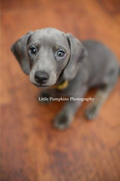 Blue dachsund. OMG I need him. Rupert and he would be SO cute together.