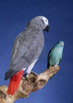 Lineolated Parakeet and Congo African Grey Parrot portrait