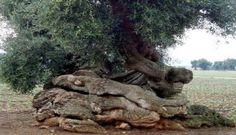 Olive tree - Sensibus.com