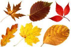 Allsorts Das Folhas De Outono Em Um Fundo Branco 3 Fotos De Stock – 4 Allsorts…