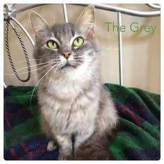 The Grey is a beautiful Maine coon girl kitty looking for a loving home. She was rescued from the shelter. She is very loving and loves to be petted. She has been spayed and is utd on her shots. She is approximately a year old. For more information or to adopt The Grey please email  yourfriendlypaws@gmail.com in NC.