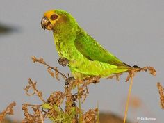 The endemic Yellow-fronted Parrot shining out in the early morning sun at Bishangari.