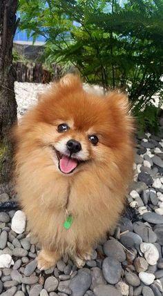 Pomeranian Fans                                                                                                                                                      More