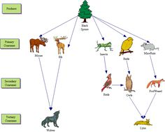Image result for taiga biome food chain examples