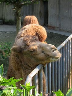 This Bactrian camel was seen at the zoo in Chengdu, Sichuan, China. Bactrian Camel, Sichuan China, Chengdu, Animals, Animaux, Animal, Camel, Animales, Animais