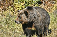 Grizzly Bear in the Canadian Rocky Mountains Black Bear, Brown Bear, My Animal, Photo Manipulation, Rocky Mountains, Animal Photography, My Photos, Deviantart, Gallery